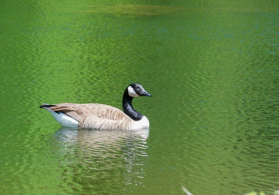 1-goose green