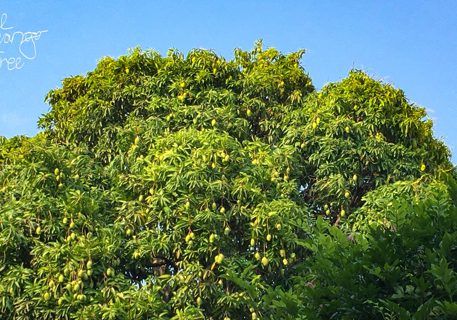 1-the mango tree